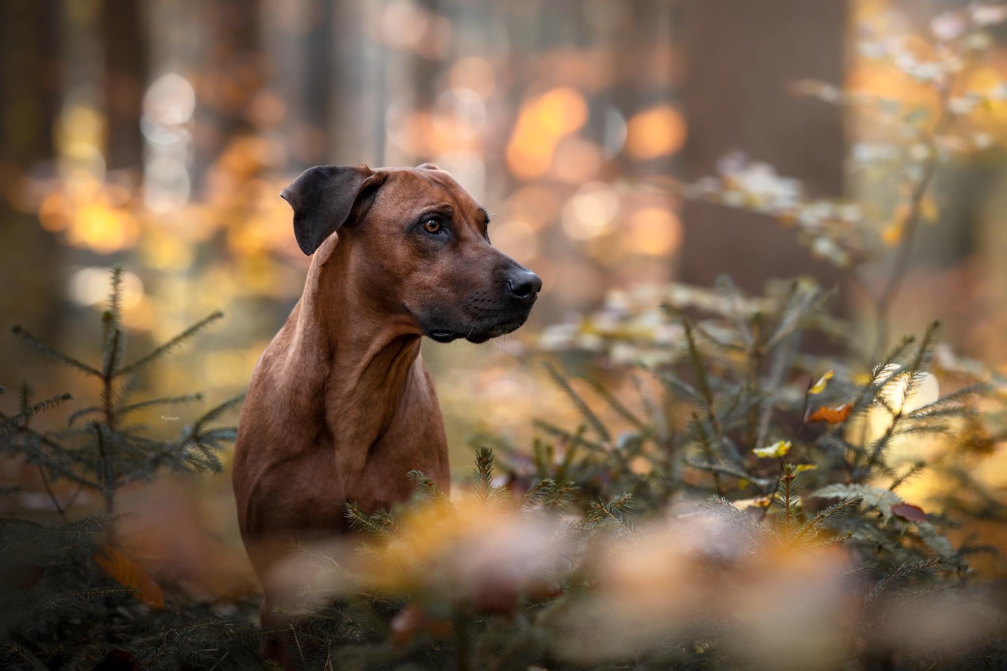 Schöne Ridgeback Hünding im Herbstwald