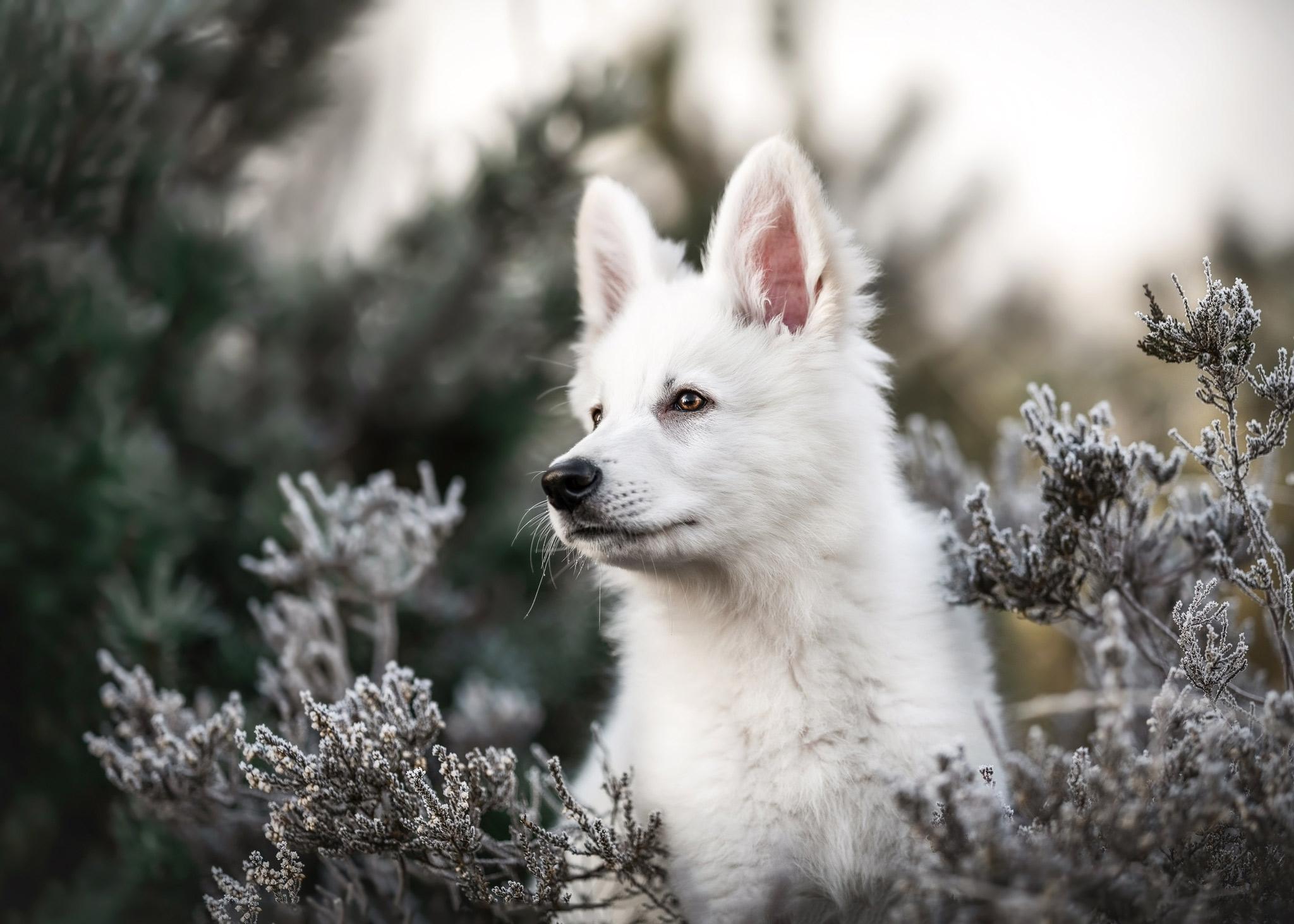 Schweizer Schäferhund Welpe in der Heide