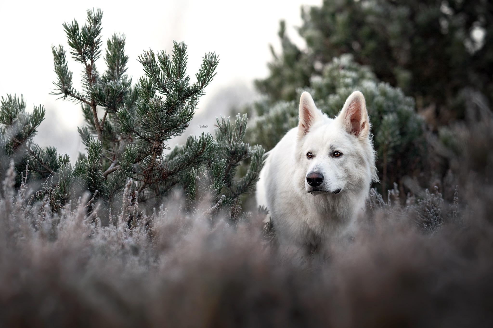 Schweizer Schäferhund in der Heide