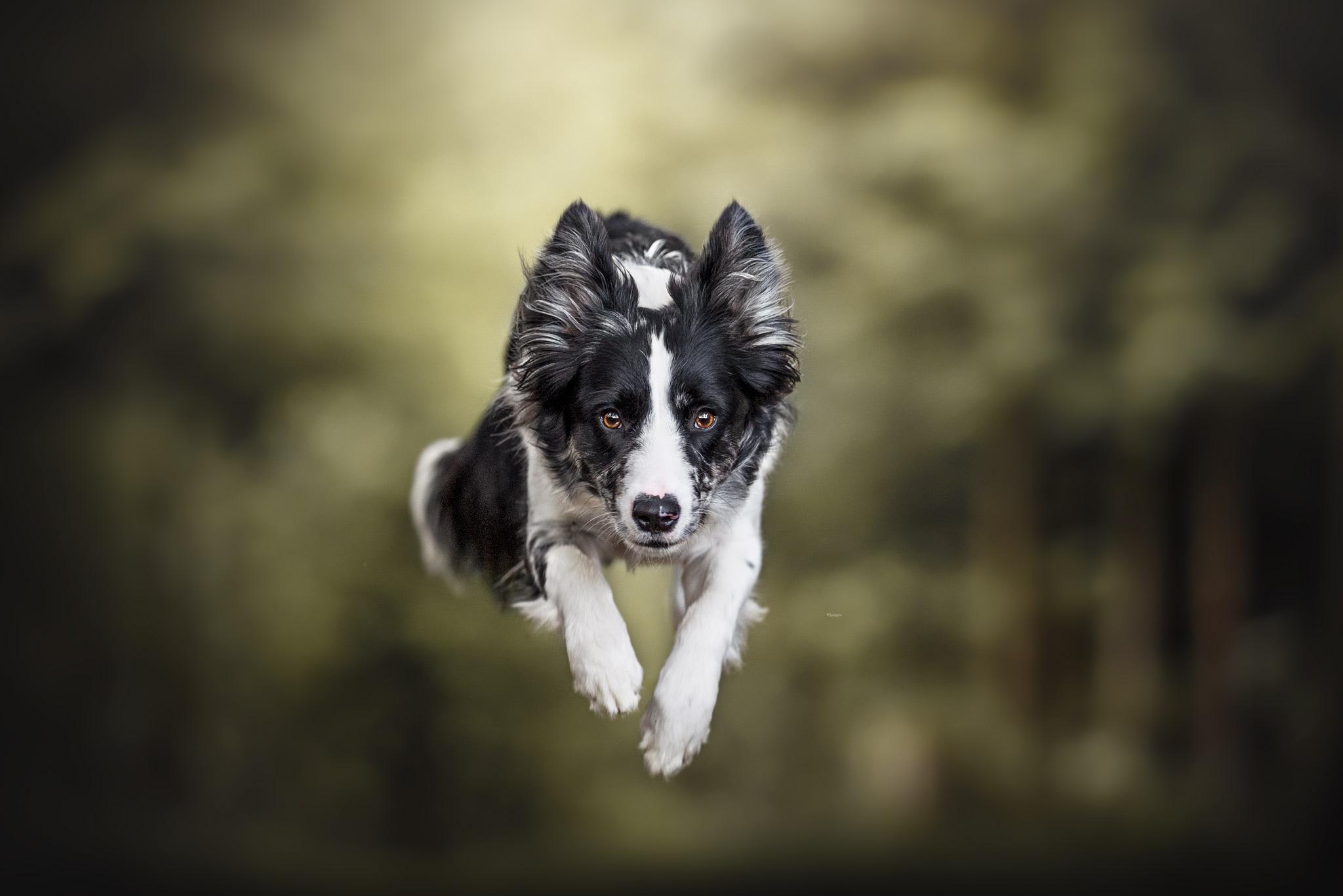 Black Merle Border Collie springend im Wald