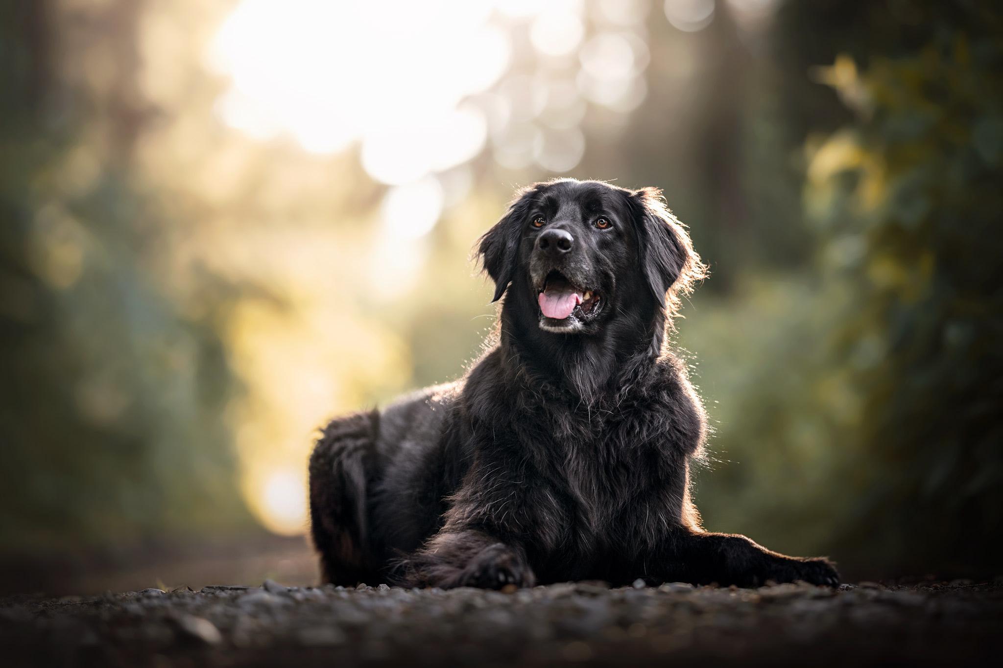 Große schwarzer Hund im Wald