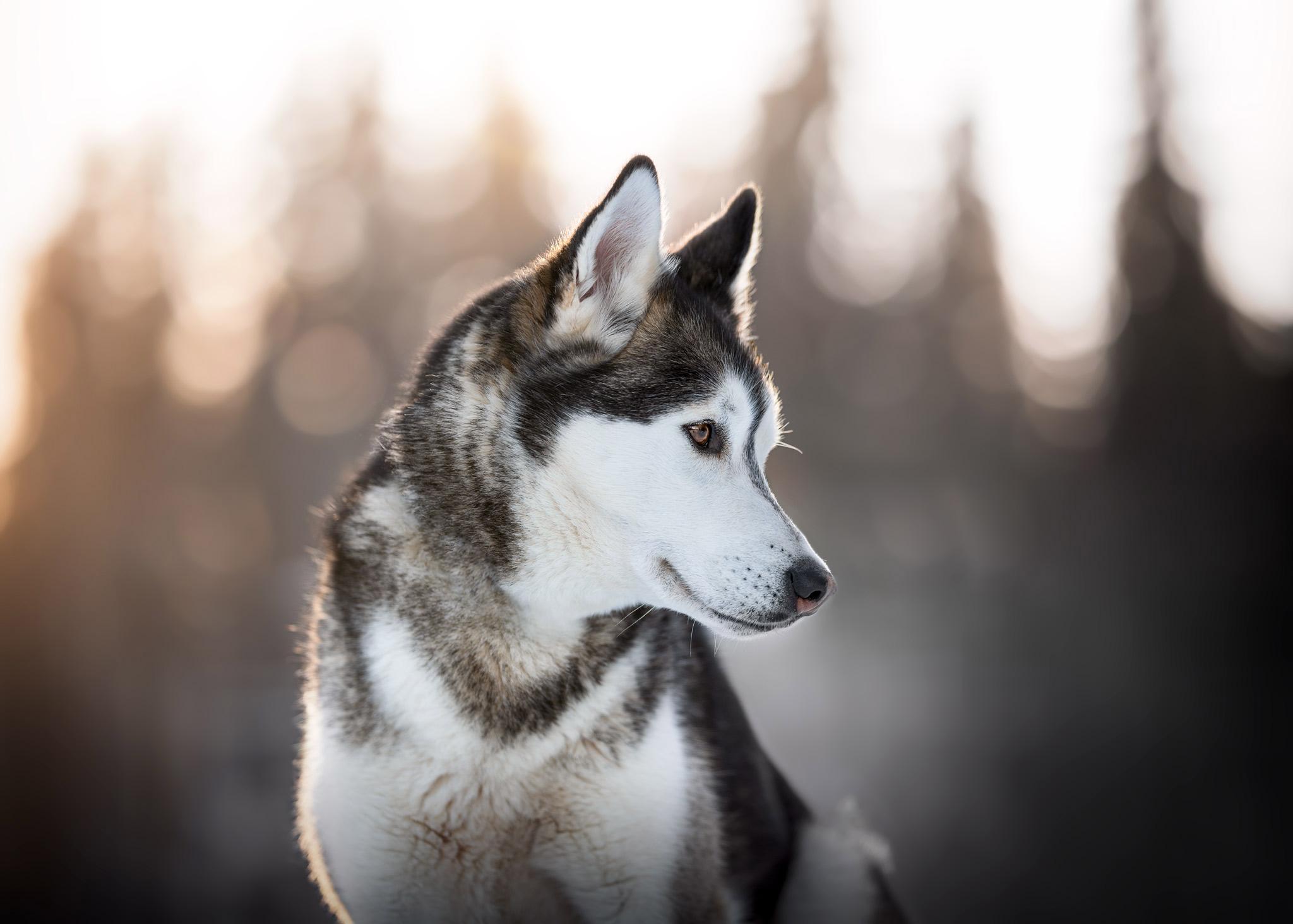 Siberian Husky bei Sonnenuntergang