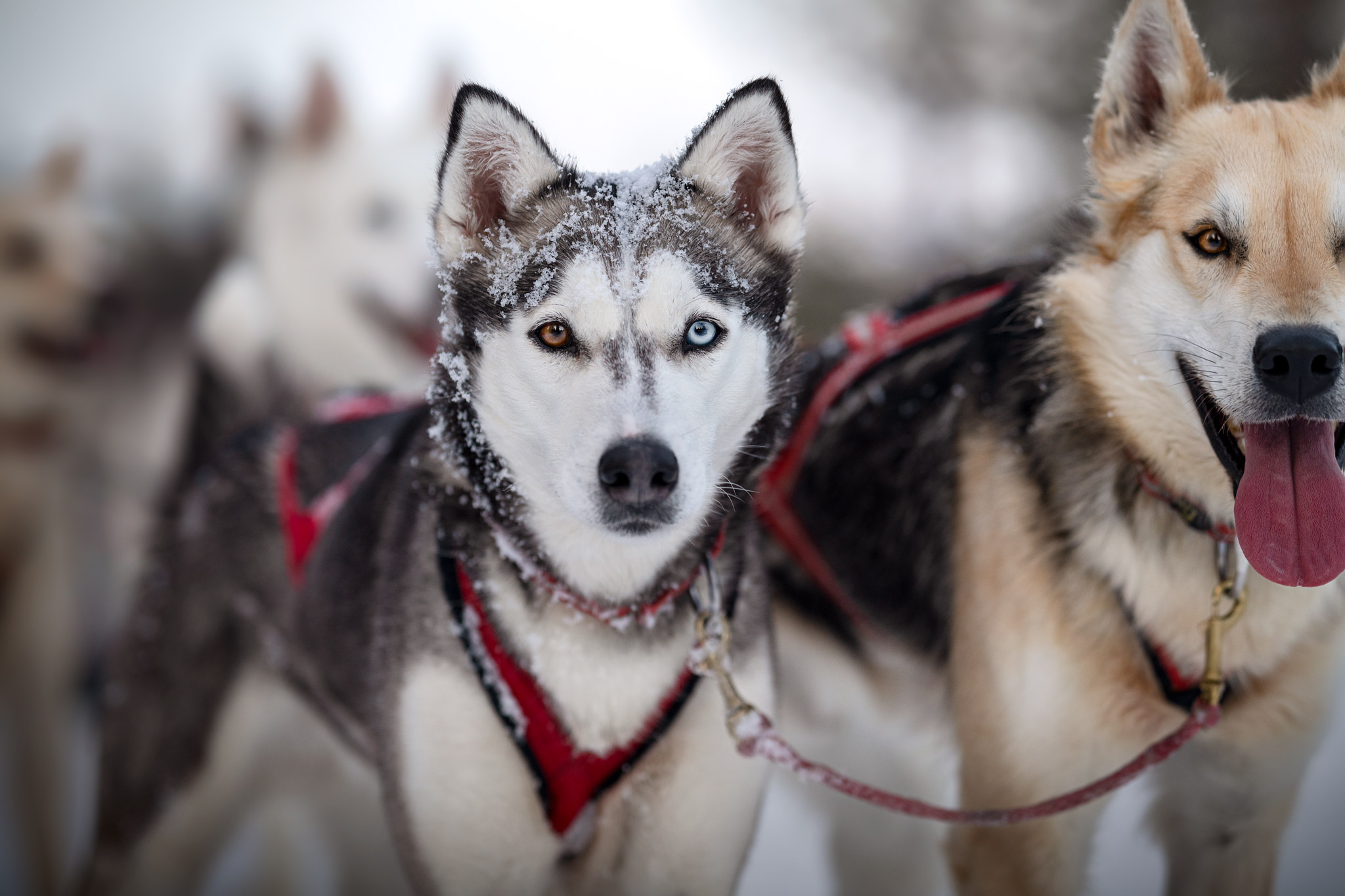 Alaskan Huskies Schlittenhunde