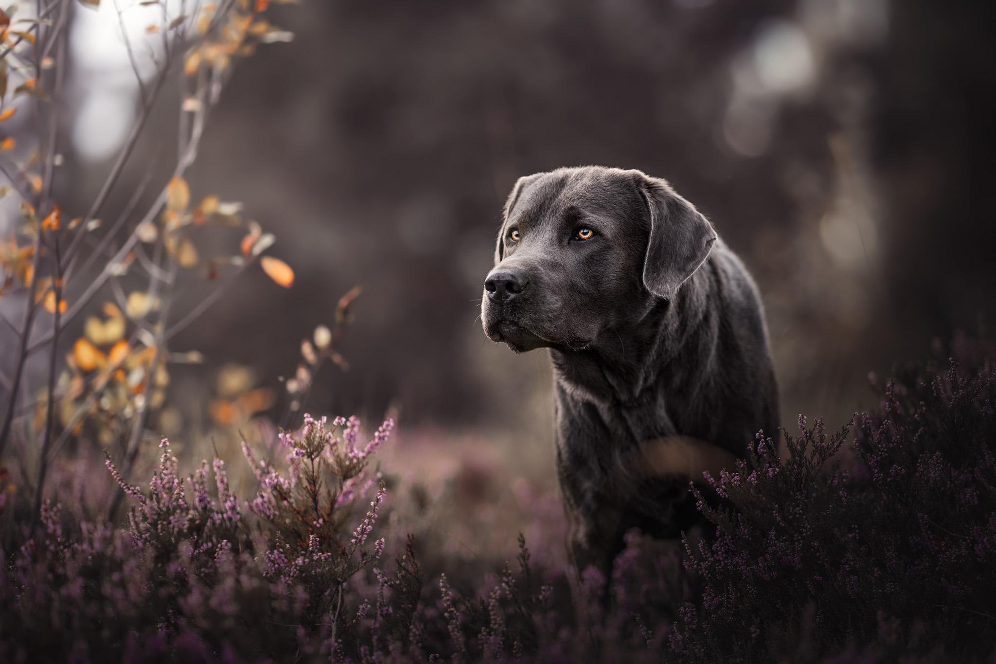 Charcoal Labrador Heide Portrait