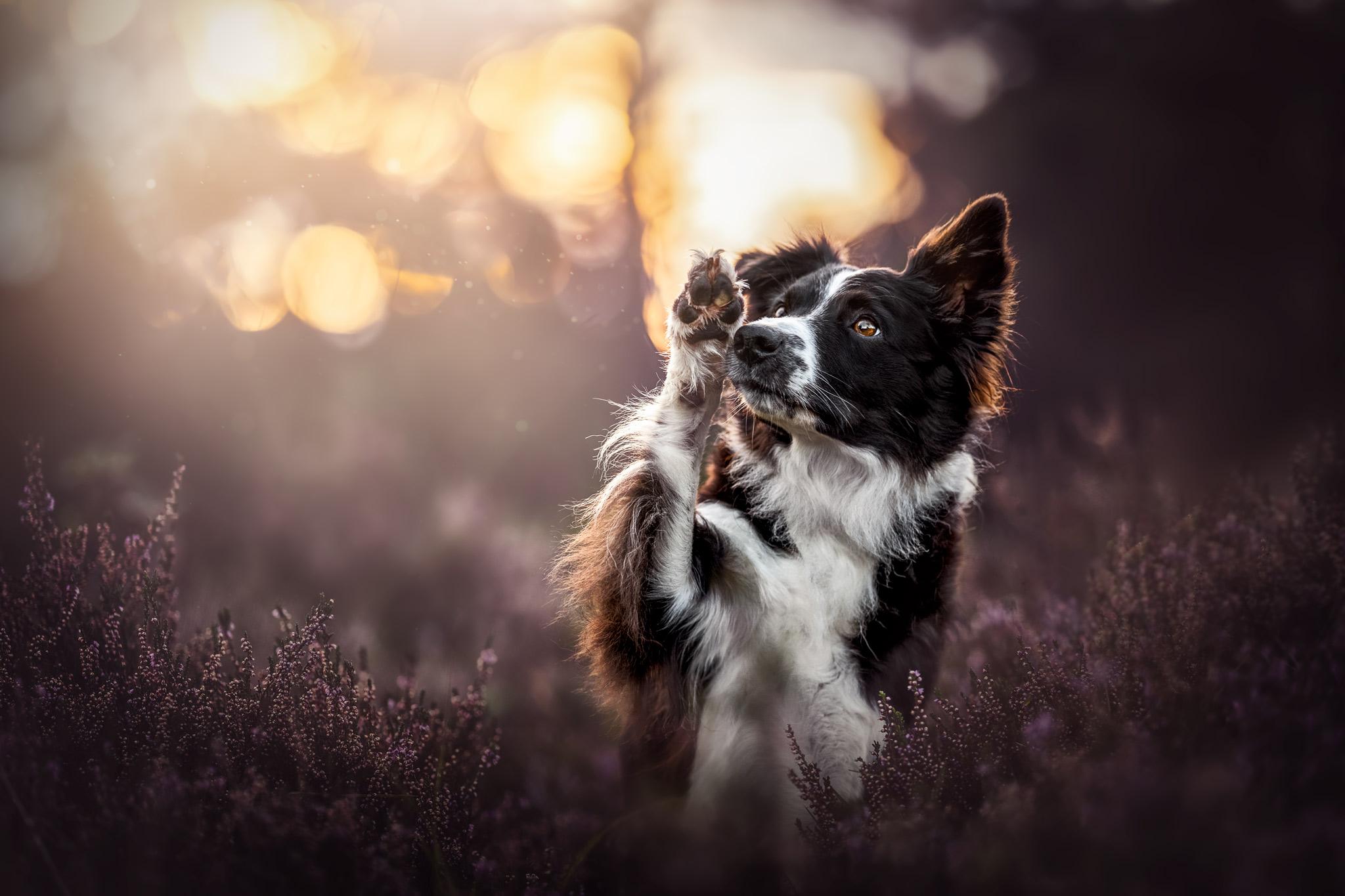 Winkender schwarz-weißer Border Collie in der Heide bei Sonnenuntergang