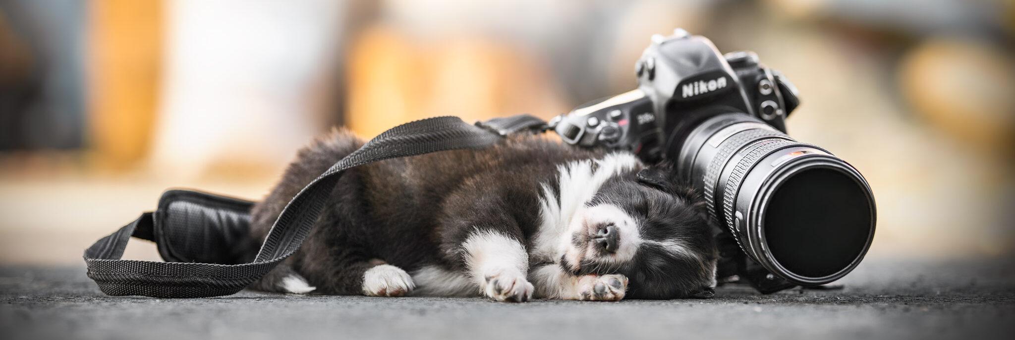 Schlafender Border Collie Welpe mit Kamera