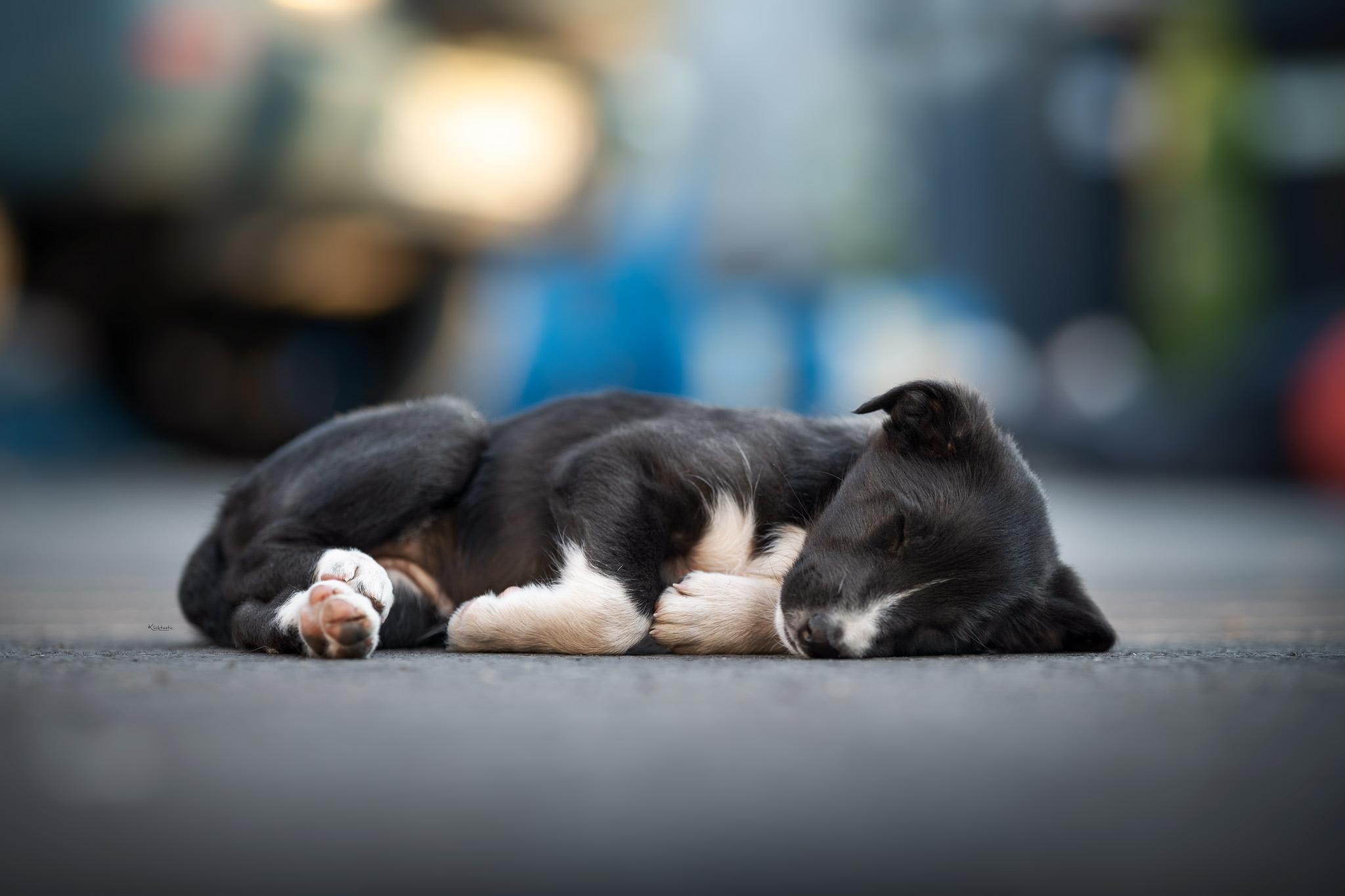 Schlafender schwarz-weißer Border Collie Welpe