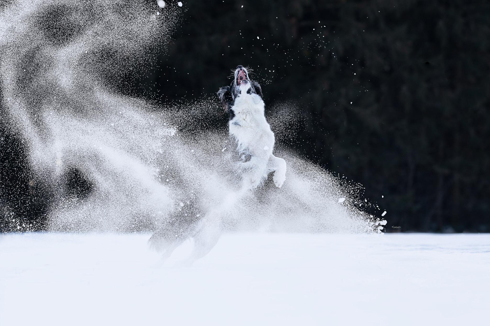 Schneetanz Border Collie spielt im Schnee