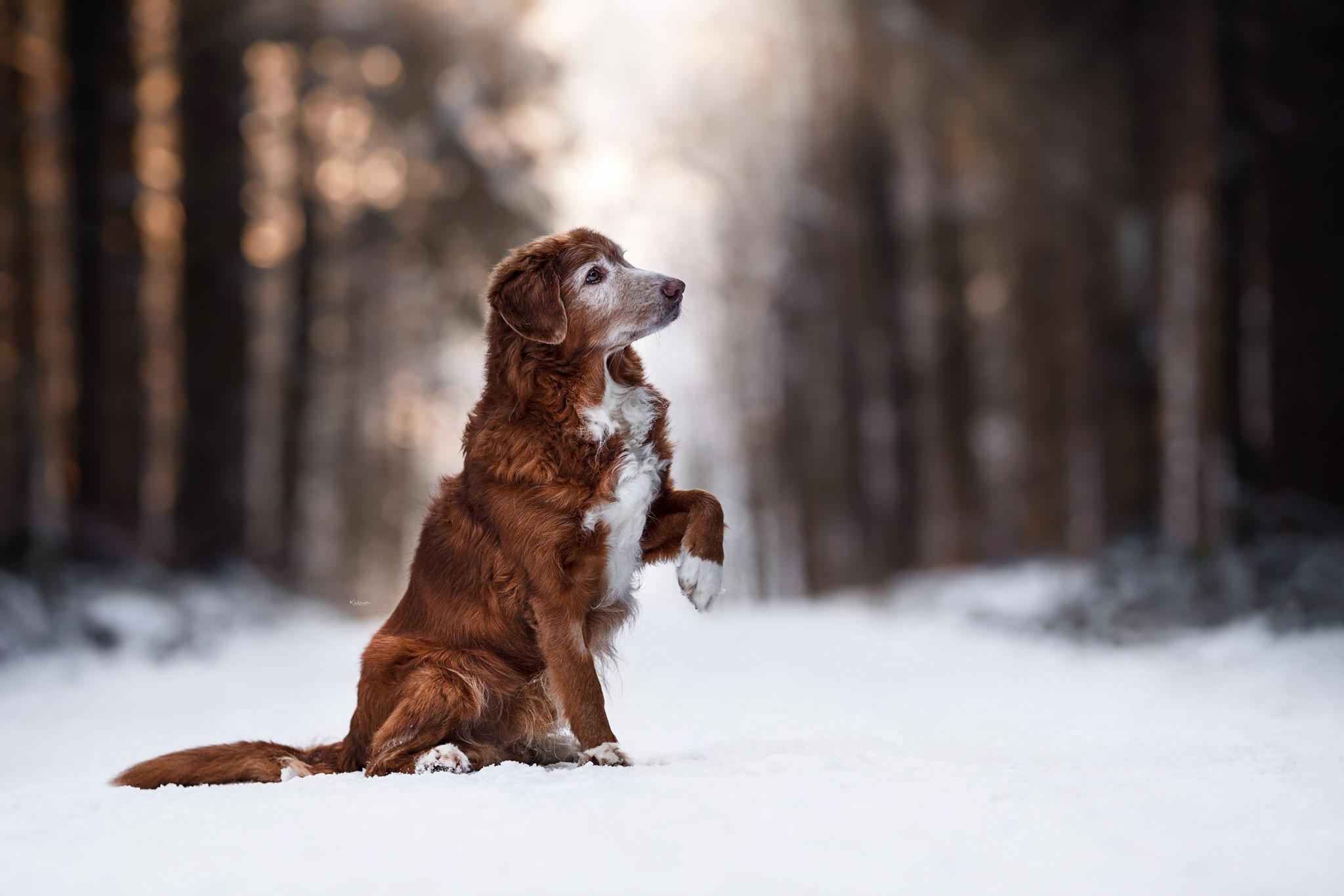 Sitzender Toller gibt Pfote in Schneelandschaft