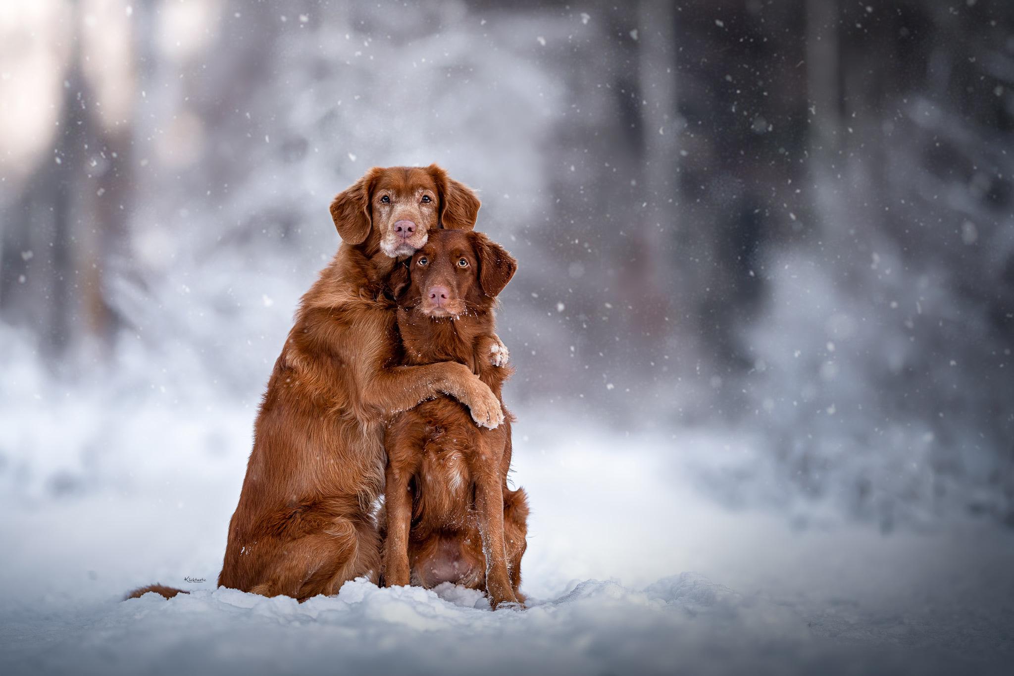 Zwei Nova Scotia Toller Retriever umarmen sich im Schnee