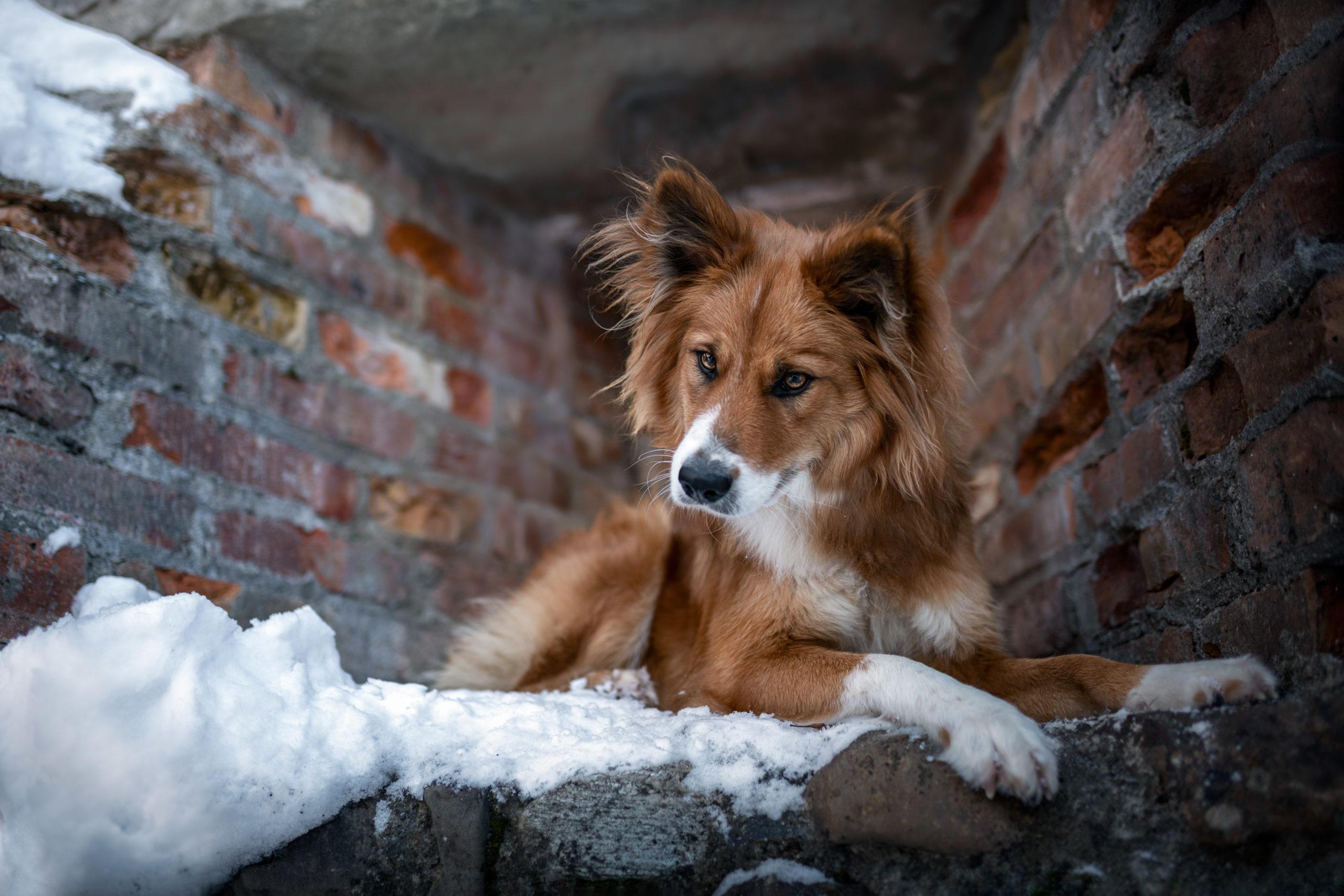 Canilo Hündin beim Burgruinenshooting mit Schnee