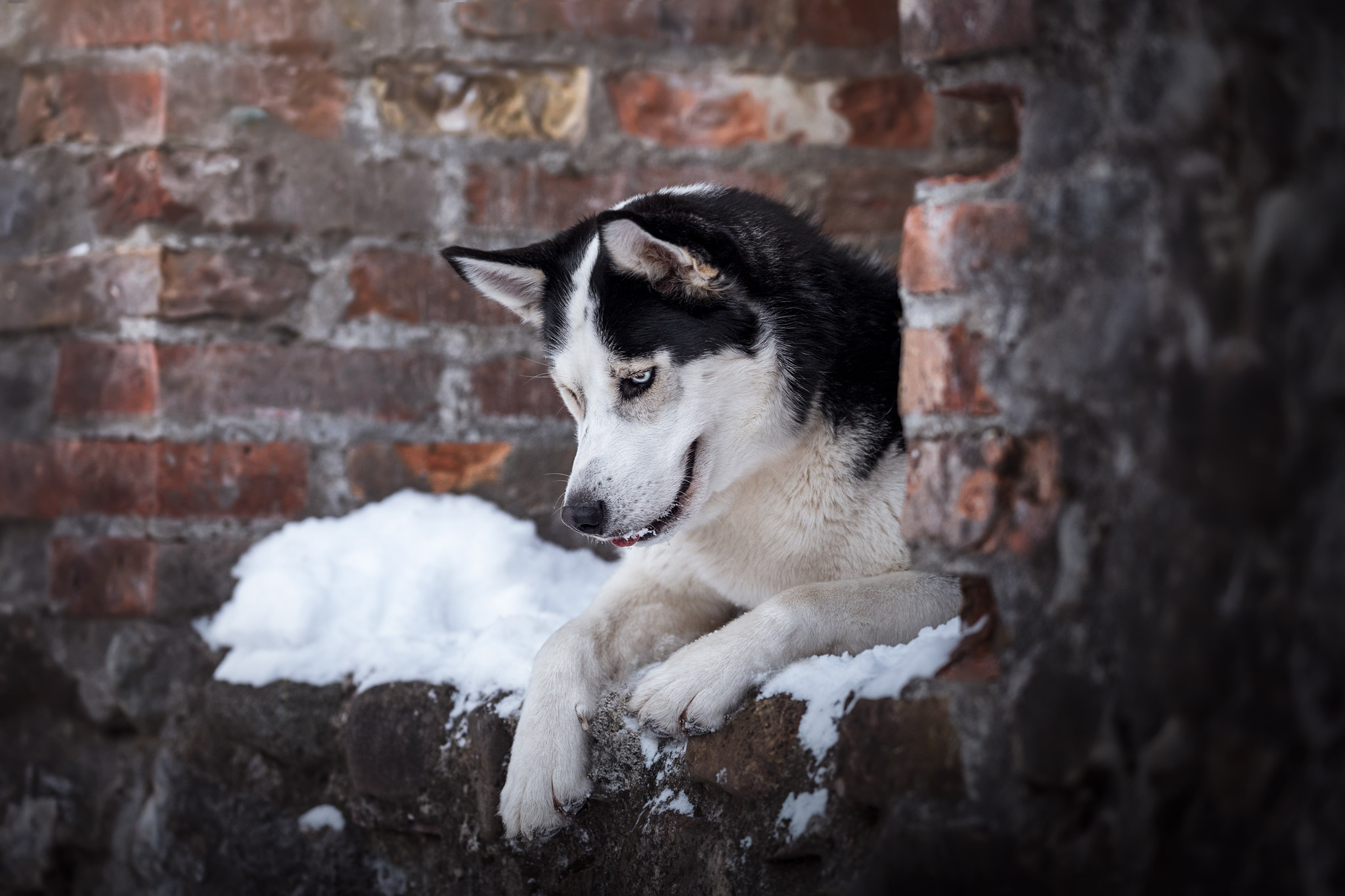 Siberian Husky bei Burgruinen-Shooting