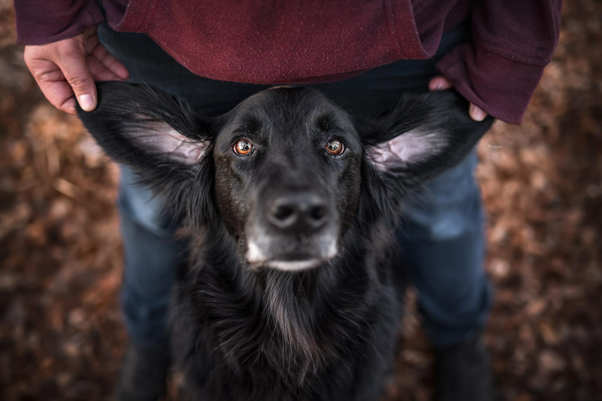 Ein schwarzer Hund und seine schönen großen Ohren